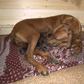Puppies for sale, Babur&Indira
